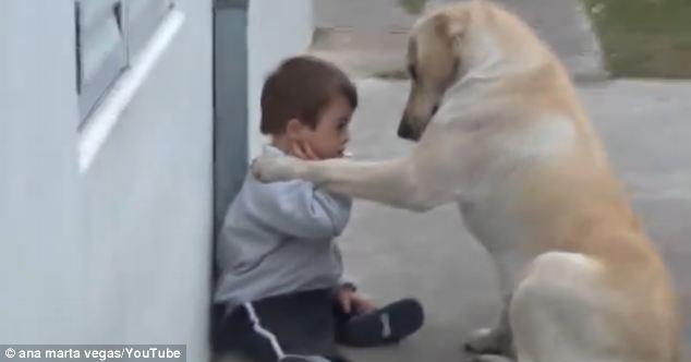 Labrador Boy with Downs